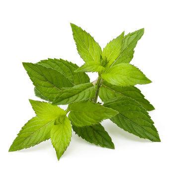 Peppermint – Must Have Essential Oil #2