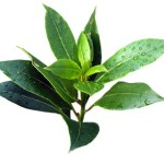 Tea Tree – Must Have Essential Oil #4