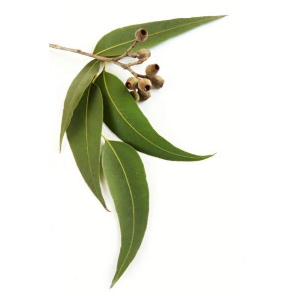 Eucalyptus – Must Have Essential Oil #3